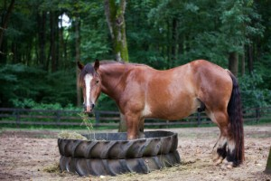 At Triple Play Farm in Davidson, we have a soft spot for draft horses and the more rare, the better.